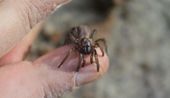 """Kıbrıs'a Özgü Yeni Bir Örümcek Türüne Kıbrıslı Biyolog Göçmen'in Adına Atfen """"Lachesana Bayramgocmeni"""" İsmi Verildi"""
