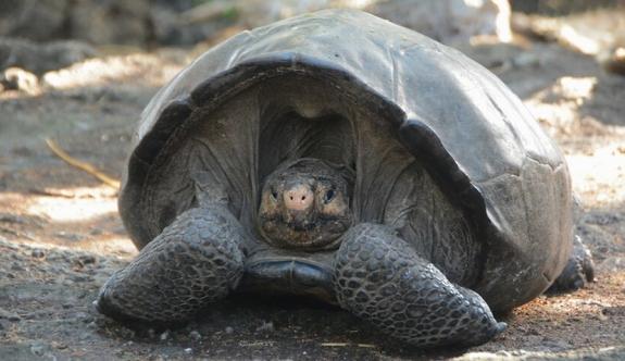 Dev kaplumbağa türü keşfedildi