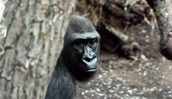 Goriller Covid-19'a yakalandı!